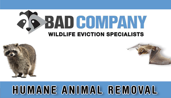 Bad Company Wildlife Removal In Hamilton Ontario